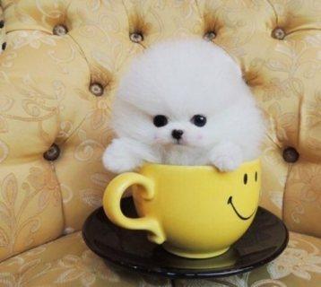الجرو كلب صغير طويل الشعر الأبيض الحلو المتاحة.