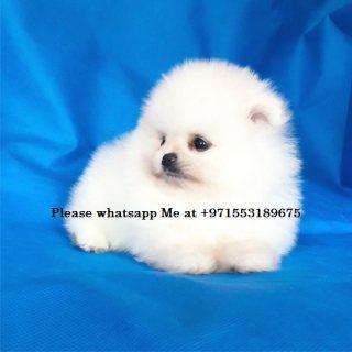 الجراء كلب صغير طويل الشعر مذهلة للبيع