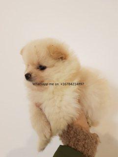 الجراء كلب صغير طويل الشعر كريم رائعتين. واتس اب لي على +16784214897