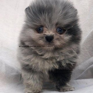 كلب صغير طويل الشعر جرو للبيع