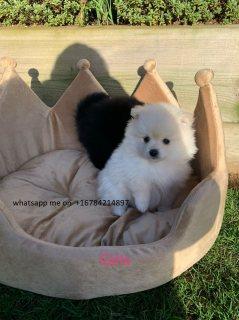 حسن المظهر كلب صغير طويل الشعر لاعتماده