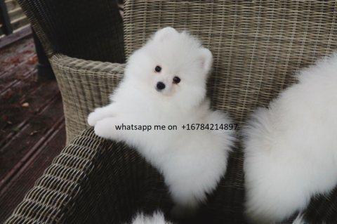 كلب صغير طويل الشعر الجراء المتاحة