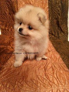 كلب صغير طويل الشعر الجودة الجراء