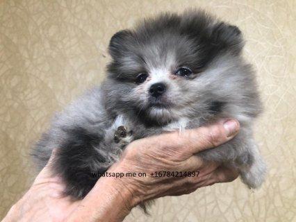 كلب صغير طويل الشعر الأصيلة الجراء