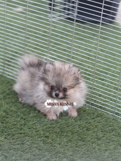 Tea cup Pomeranian puppies/ جراوي بوميرانيان تي كاب