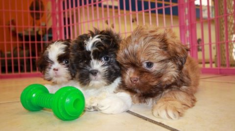 Lovely shih Tzu pups for family homes