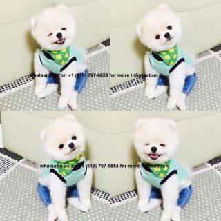 كلب صغير طويل الشعر رائع عمره 10 أسابيع للبيع.