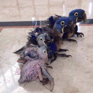 Baby Hyacinth Macaw Parrot