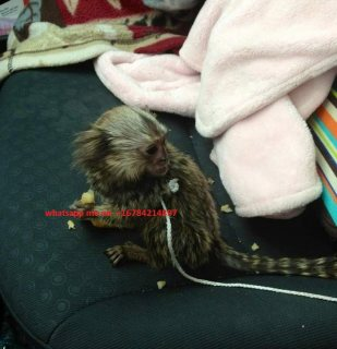 Well breed Marmoset Monkeys for sale.whatsapp me at  +16784214897