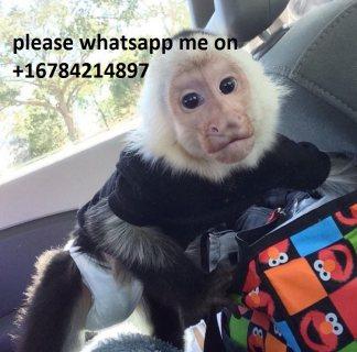 Sweet Capuchin Monkey for sale.