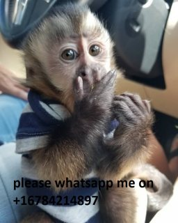 Capuchin monkeys available for sale\ whatsapp me on   +16784214897