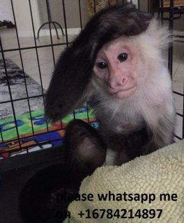 Very healthy capuchin monkeys  for sale\ whatsapp me on   +16784214897