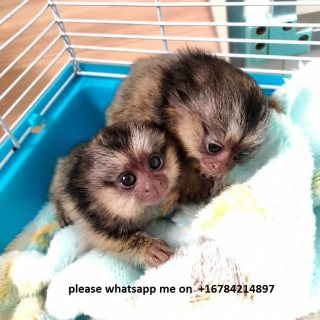 Cute, Healthy Marmoset Monkeys\whatsapp me on  +16784214897