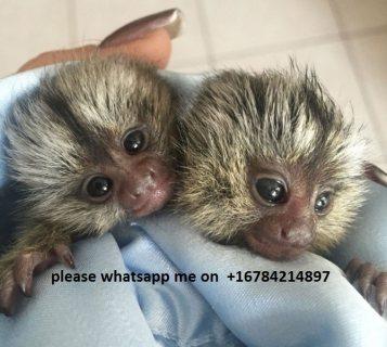 Amazing marmoset Monkeys for Sale\ whatsapp me on  +16784214897