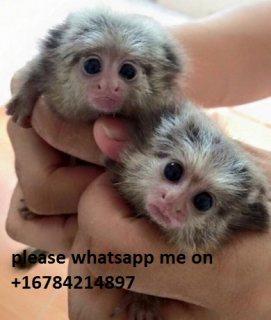 Charming Marmoset Monkeys Available\whatsapp me on  +16784214897