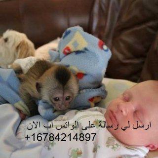Lovely and purebreed baby capuchin monkeys.