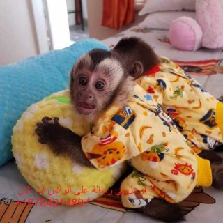 Sensitive and Playfull Capuchin Monkeys Ready to Go.
