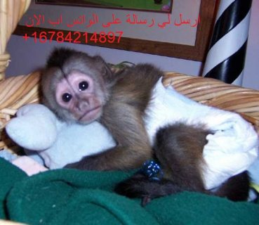 Energetic White face capuchin monkeys .