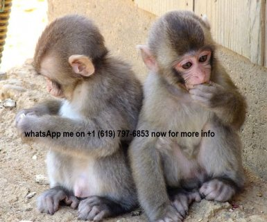beautiful capuchin monkeys looking for a warm and loving home.