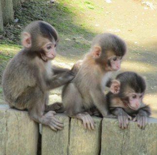 لطيفة القرود الذكور والإناث القرود للبيع.