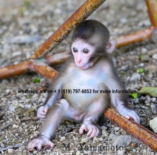 Both male and female available capuchin monkeys for sale.