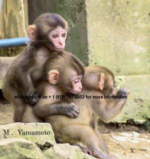 Purebred capuchin monkeys.