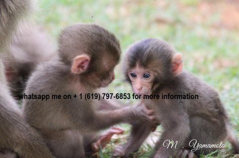 Home trained capuchins available.