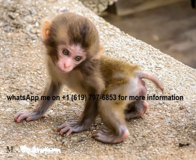 capuchin monkeys Available.