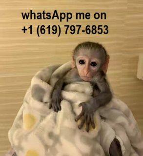 Two little healthy capuchin monkeys For Sale.