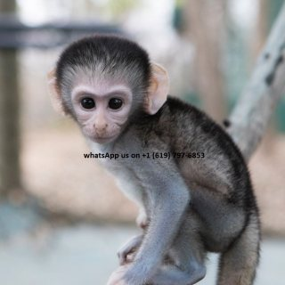 gorgeous male and female capuchin monkeys available.
