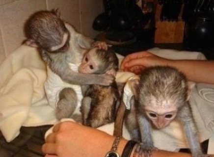 excellent raised capuchin monkeys available