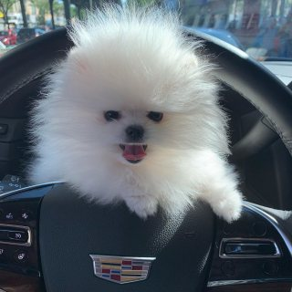 I have 2 beautiful Pomeranian looking for a warm and loving home.