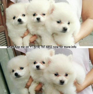 Two little Pomeranian Puppies For Sale.