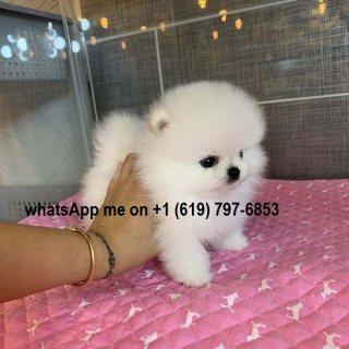 Wonderful Pomeranian Puppies For Sale.