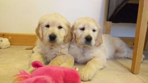 Potty Trained Golden Retriever Puppies.
