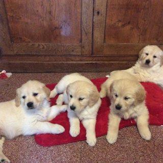 Great Golden Retriever Puppies.