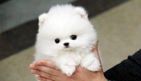 Beautiful Pomeranian Puppies.whatsapp me on  +16784214897