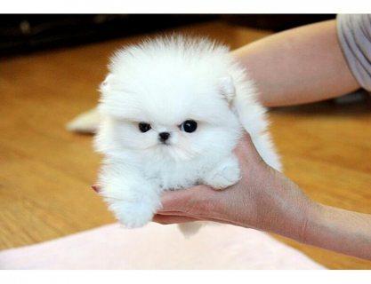 Pom Pups - Ready Now.whatsapp me on  +16784214897