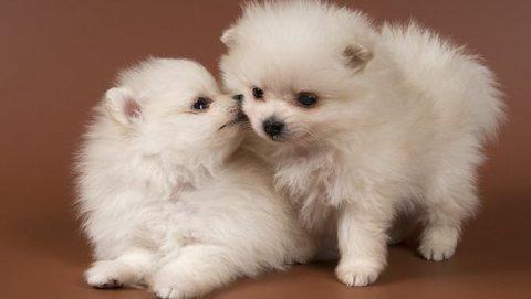 Boy & Girl Register Pomeranians.whatsapp me on  +16784214897