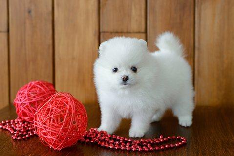 Pomeranian Female For Sale.whatsapp me on  +16784214897