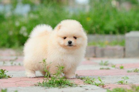 Tiny Pom Puppies.whatsapp me on  +16784214897