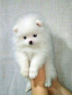 Gorgeous Pom Boy.whatsapp me on  +16784214897