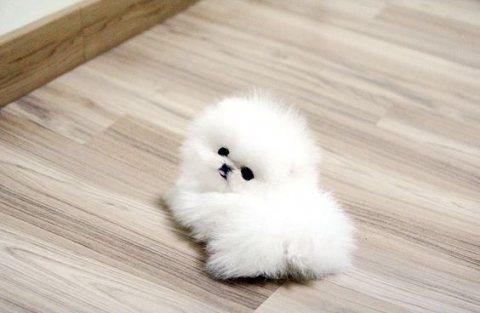 Ready Now, 9 Week Old Pomeranian Puppies.whatsapp me on  +16784214897