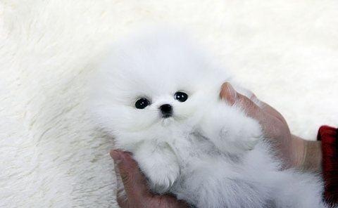 Perfect Extra Tiny Short Pomeranian. whatsapp me on  +16784214897