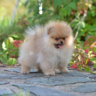 Luxury Mini Pomeranian Boy And Girl For Sale.whatsapp me on  +16784214897