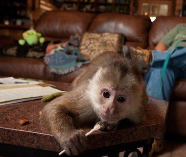 القرود الكبوشي ودية ومرحة متاحة للبيع.