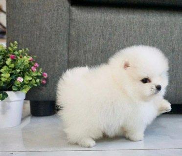 الجراء كلب صغير طويل الشعر الجميل