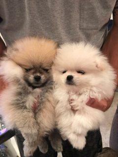 3 جرو كلب صغير طويل الشعر صحي افايابلي الان