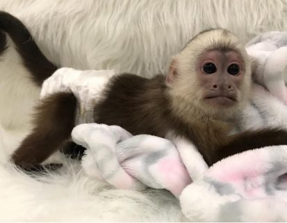Adorable baby capuchin monkeys for sale