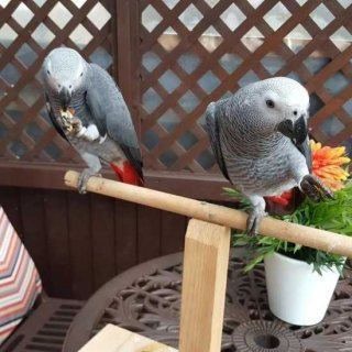 الطيور الجميلة والهادئة متاحة للبيع